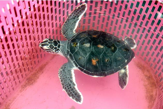 救援小綠蠵龜!水試所成功復育保育類海洋野生動物