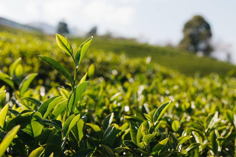 茶葉食安:第一泡茶可以喝嗎?