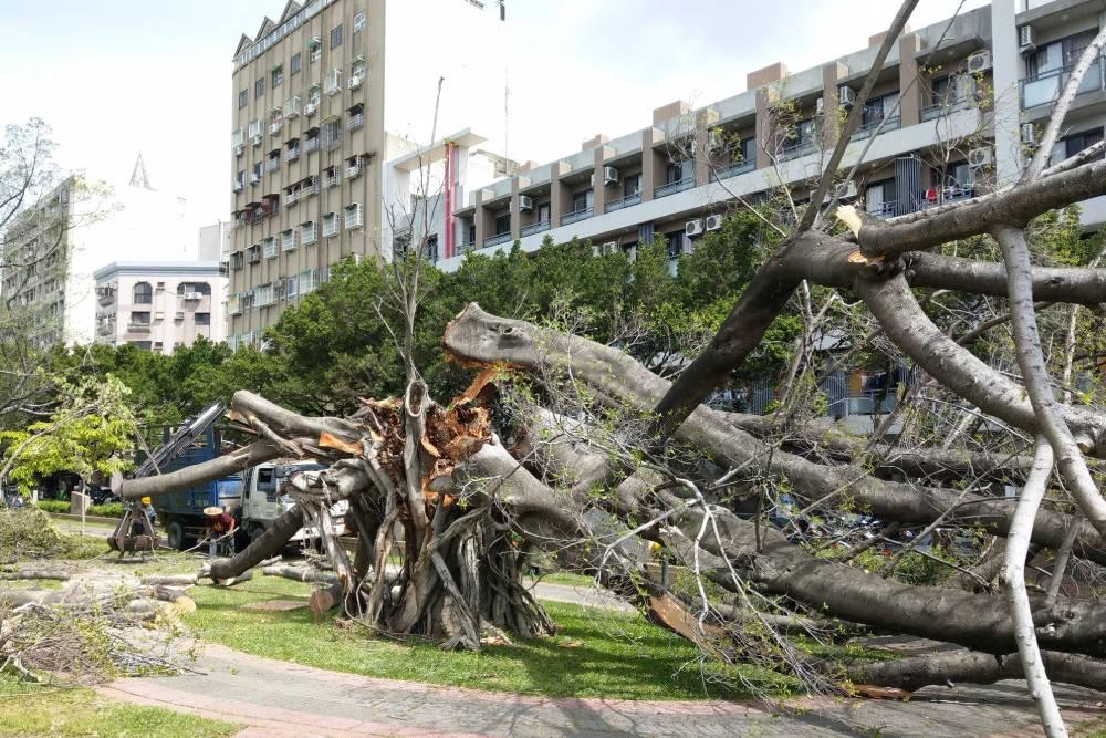 愛樹團體抗議台中市府保護老樹作為消極