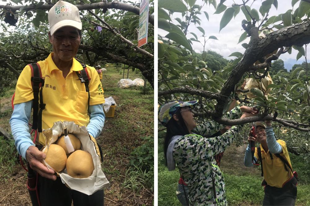 認養台中東勢梨樹親自採果慶豐收