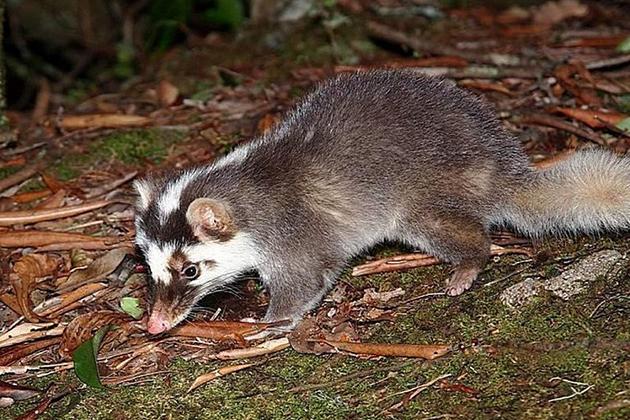 今年首起狂犬病鼬獾咬人 疾管署呼籲避免接觸及捕捉野生動物