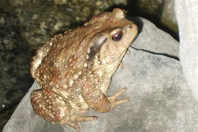不要只在手機養青蛙!快來看正港的台灣盤古蟾蜍