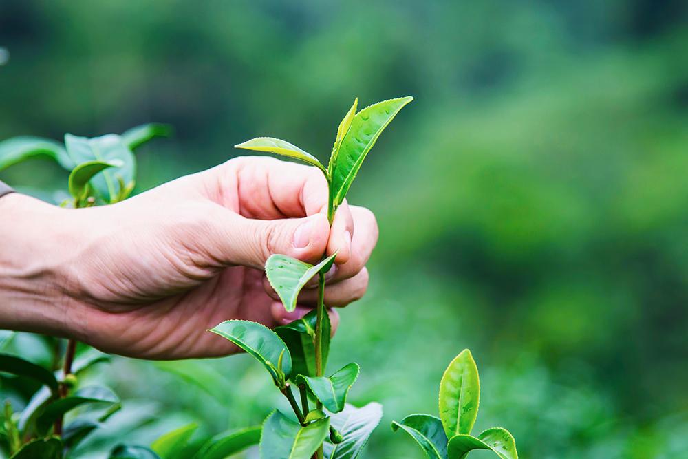 烏龍茶百百種,究竟誰才是正宗烏龍茶呢?