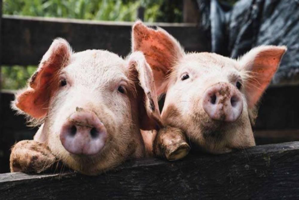 【投書】賠了夫人又折兵的「萊豬條款」!