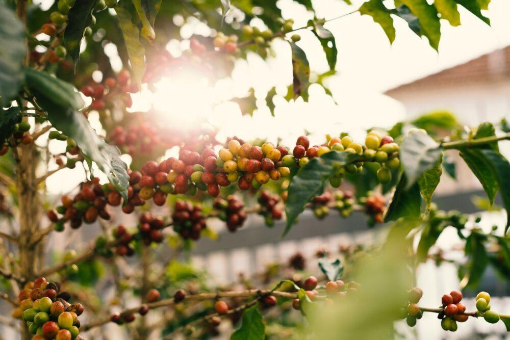 泡起來有烏龍香的「咖啡葉」喝得到了!  食藥署正式開放茶飲使用