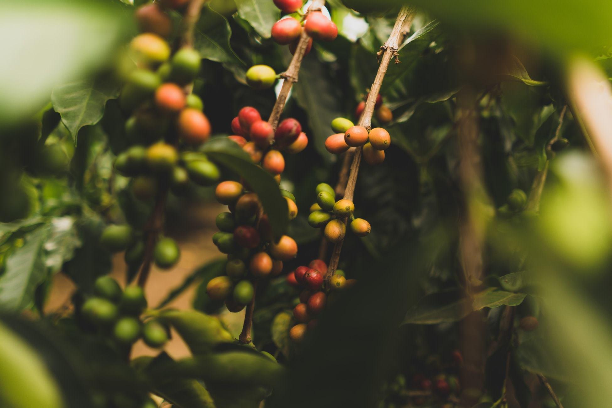 【精品咖啡聽我說】藝伎咖啡豆有什麼魔力?竟讓大家愛不釋手!