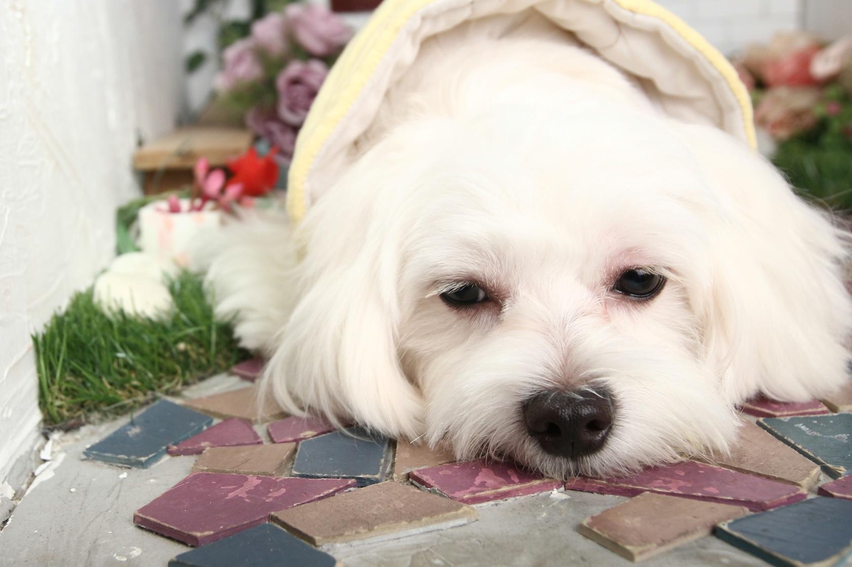 毛孩「心」事危機!小型犬患病率高達7成 寵物保健很重要
