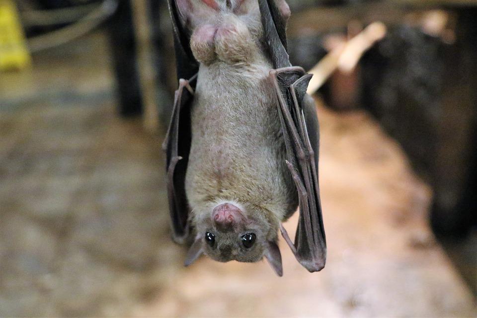蝙蝠疑藏「長壽秘密」 人類若掌握可活到240歲